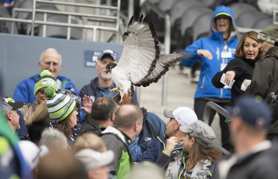 The Seahawks mascot made a small detour before the game against the Giants on Sunday, Nov. 9, 2014 at CenturyLink Field. Taima, a nine-year-old augur hawk who leads the team out of the tunnel for every home game, eventually returned to its handler.